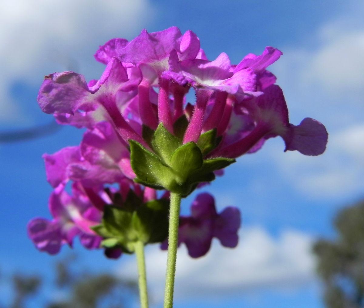 Blaues Wandelroeschen Bluete pink Lantana montevidensis