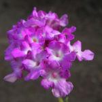Bild: Blaues Wandelröschen Blüte pink Lantana montevidensis