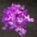 Zurück zum kompletten Bilderset Blaues Wandelröschen Blüte pink Lantana montevidensis