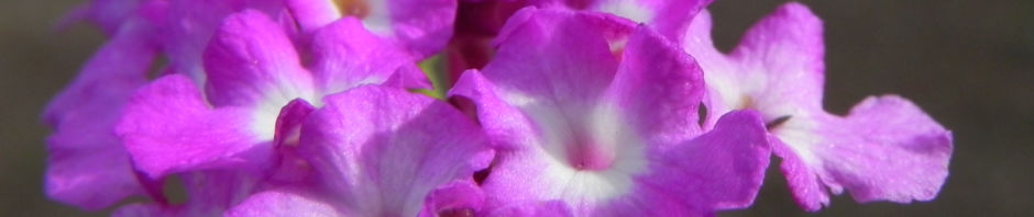 Anklicken um das ganze Bild zu sehen Blaues Wandelröschen Blüte pink Lantana montevidensis