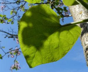 Blauglockenbaum Blatt gruen Paulownia tomentosa 02