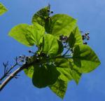 Blauglockenbaum Blatt gruen Paulownia tomentosa 03