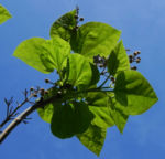 Bild: Blauglockenbaum Blatt grün Blüte weiß lila Paulownia tomentosa