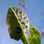 Blauglockenbaum Blatt Paulownia tomentosa 01