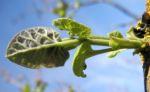 Blauglockenbaum Blatt Paulownia tomentosa 02