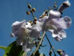 Blauglockenbaum Bluete hell blau Paulownia tomentosa 04