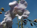 Blauglockenbaum Bluete hell blau Paulownia tomentosa 05