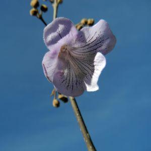 Blauglockenbaum Bluete hell blau Paulownia tomentosa 07