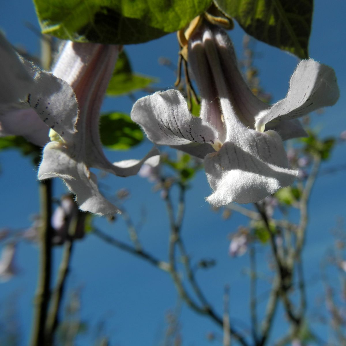 Blauglockenbaum Bluete hell blau Paulownia tomentosa