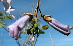 Bild: Blauglockenbaum Bluete hell blau Paulownia tomentosa