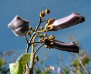 Blauglockenbaum Bluete hell blau Paulownia tomentosa 10