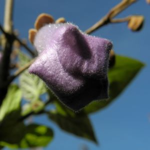 Blauglockenbaum Bluete hell blau Paulownia tomentosa 12
