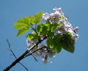 Blauglockenbaum Bluete hell Paulownia tomentosa 01