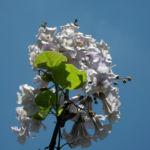 Blauglockenbaum Bluete hell Paulownia tomentosa 02
