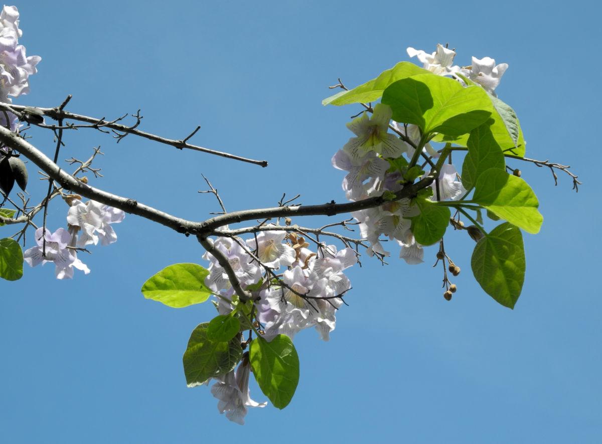 Blauglockenbaum Bluete hell Paulownia tomentosa