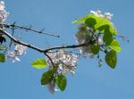 Blauglockenbaum Bluete hell Paulownia tomentosa 05