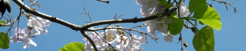blauglockenbaum-kiri-bluete-hell-paulownia-tomentosa