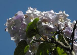 Blauglockenbaum Bluete hell Paulownia tomentosa 06