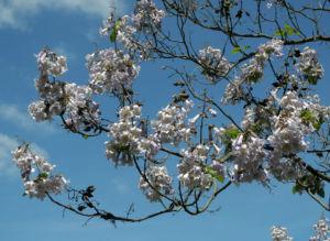 Blauglockenbaum Bluete hell Paulownia tomentosa 08