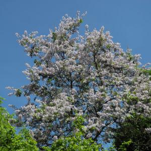 Blauglockenbaum Bluete hell Paulownia tomentosa 09