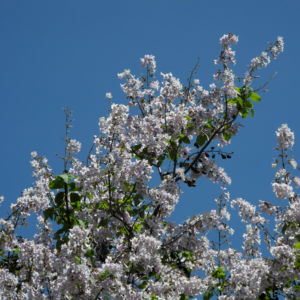 Blauglockenbaum Bluete hell Paulownia tomentosa 11