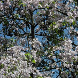 Blauglockenbaum Bluete hell Paulownia tomentosa 12
