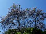 Blauglockenbaum Bluete weiss lila Paulownia tomentosa 04