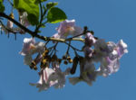 Blauglockenbaum Bluete weiss lila Paulownia tomentosa 05