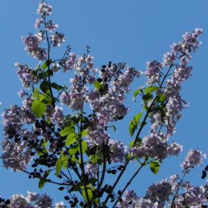 Blauglockenbaum Bluete weiss lila Paulownia tomentosa 06