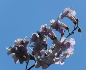Blauglockenbaum Bluete weiss lila Paulownia tomentosa 07