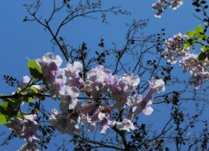 Blauglockenbaum Bluete weiss lila Paulownia tomentosa 08
