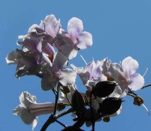 Blauglockenbaum Bluete weiss lila Paulownia tomentosa 09