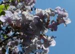 Blauglockenbaum Bluete weiss lila Paulownia tomentosa 11