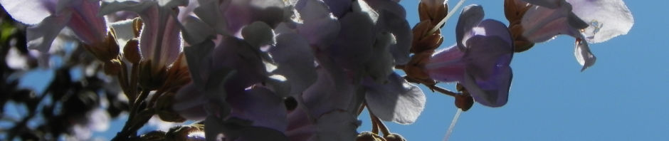 blauglockenbaum-bluete-weiss-lila-paulownia-tomentosa