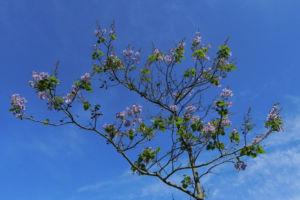 Blauglockenbaum Bluete weiss lila Paulownia tomentosa 13