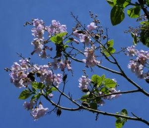 Blauglockenbaum Bluete weiss lila Paulownia tomentosa 14