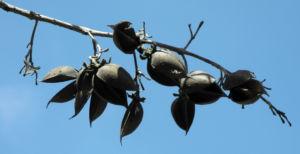 Blauglockenbaum Nuss alt Paulownia tomentosa 04