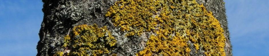 blauglockenbaum-blatt-gruen-bluete-weiss-lila-paulownia-tomentosa