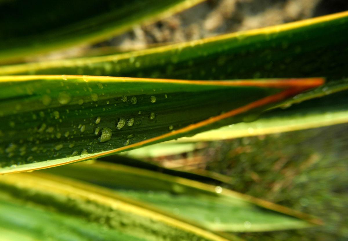 Blaugruene Palmlilie Blatt gruen Yucca glauca