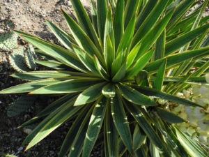 Blaugruene Palmlilie Blatt gruen Yucca glauca 05