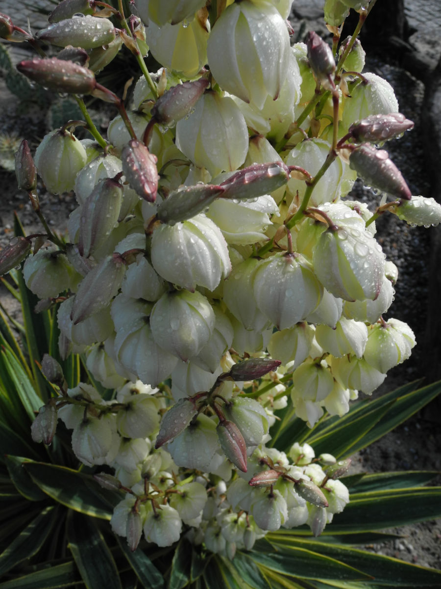 Blaugruene Palmlilie Bluete weiß Yucca glauca