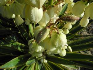Blaugruene Palmlilie Bluete weiß Yucca glauca 06