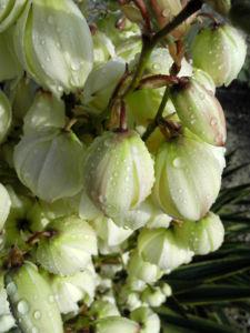 Blaugruene Palmlilie Bluete weiß Yucca glauca 09