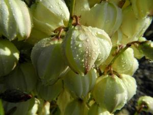 Blaugruene Palmlilie Bluete weiß Yucca glauca 18
