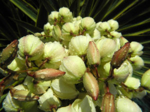 Blaugruene Palmlilie Bluete weiß Yucca glauca 21