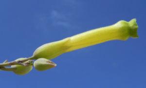 Blaugruener Tabak Bluete gelb Nicotiana glauca 03
