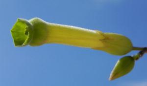 Blaugruener Tabak Bluete gelb Nicotiana glauca 09