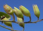 Blaugruener Tabak Bluete gelb Nicotiana glauca 10