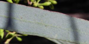Blaugummibaum Blatt gruen Eucalyptus 01