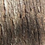 Bild: Blaugummibaum Bluete rot Blatt Knospe grün Rinde braun Eucalyptus